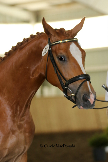 SOLD: WORLD CUP WORTHY: 2 5 yo Hanoverian reg/branded